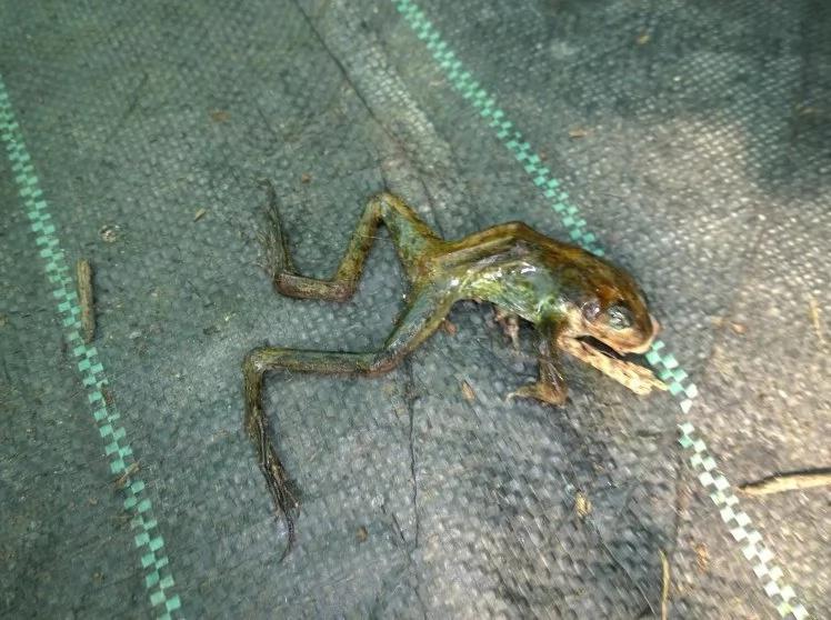 The amphibian plague! Dead frogs rains down in London