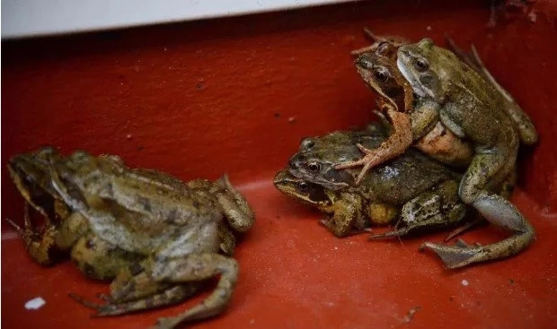 End time! HUNDREDS of frogs invade family's house and refuse to leave it (photos)