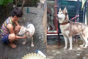 Ang bait! Concerned netizen adopts 'zombie dog' and transforms it into a beautiful husky
