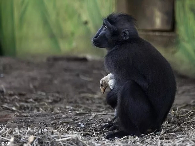 Lonely monkey adopts weeks-old chicken at zoo