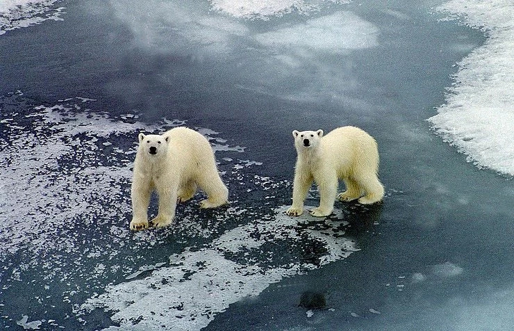 Russian scientists are trapped by polar bears!