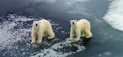 Russian scientists have been taken hostage by polar bears