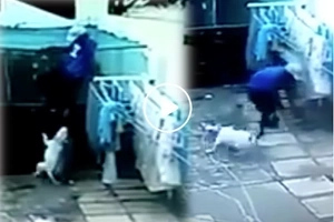 Heroic pitbulls viciously attack thief breaking into house