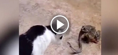 Watch brave cat fights snake while it's being eaten by huge toad