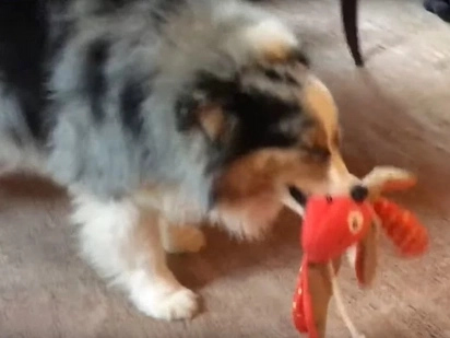 Dog Gets A Present On Christmas And Immediately Begins Playing With It