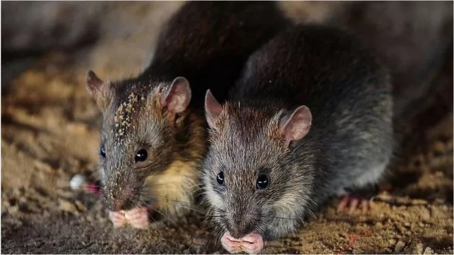 Confusion as police inspectors accuse RATS of drinking 1 million litres of seized alcohol (photos)