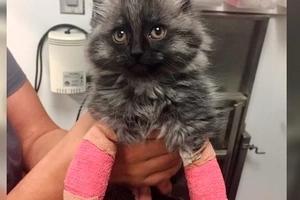 Katze mit gebrochenen Vorderbeinen geboren, endlich bekommt eine Chance, zum ersten Mal zu gehen