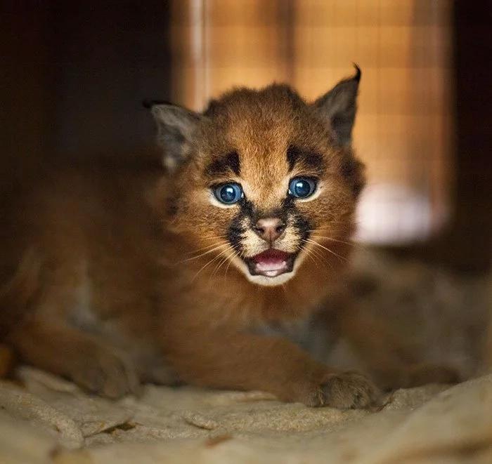 Esta debe ser la especie de gatos más bella del mundo