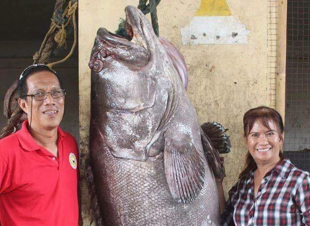 LOOK: A gigantic fish weighing 400 kgs caught in Masbate