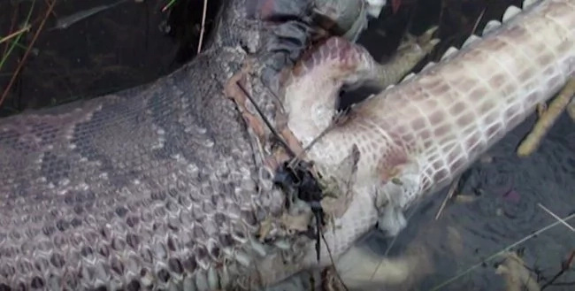 The snake tried to eat a croc and here is what happened