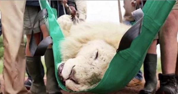 Raro león blanco lucha por sobrevivir sin dientes vitales. Entonces los rescatistas le dan una segunda oportunidad