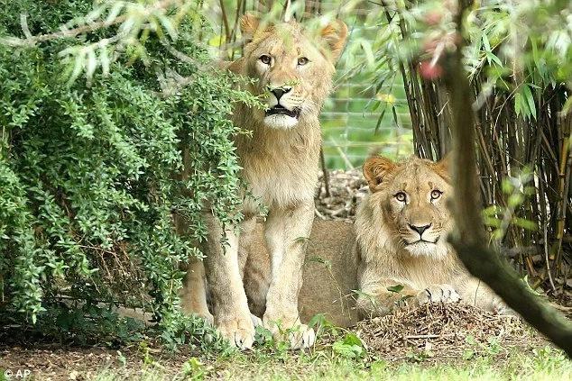 Leones escapan de jaula en un zoológico y terminan en tragedia