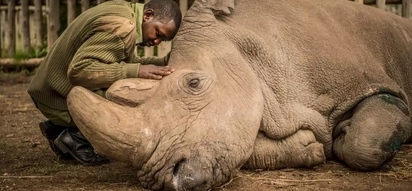 Emotional photos of Sudan, the last male Northern White Rhino, dying at Ol Pejeta Conservancy
