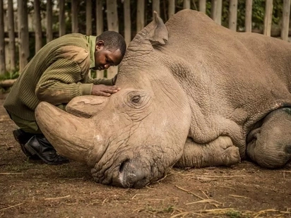 Emotional photos of dying Sudan, the last male Northern White Rhino at Ol Pajeta conservancy