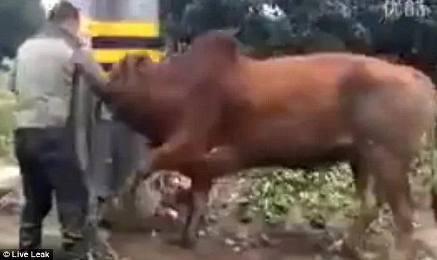 Apuñaló a un toro en la cabeza y lo dejó agonizando