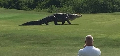 Godzilla-sized alligator is not what you expect to see on a golf field, right?