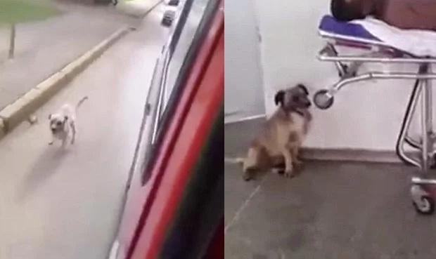 Perro persiguió la ambulancia que llevaba a su dueño enfermo