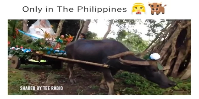 "Pinay bride rides a carabao carriage to her wedding, truly ""Only In The Philippines"""