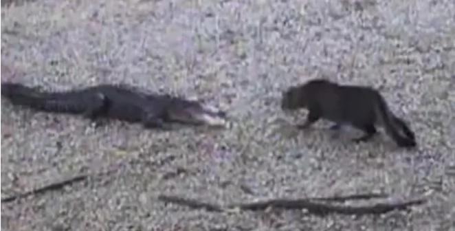 Gato defiende a su familia humana del ataque de un cocodrilo