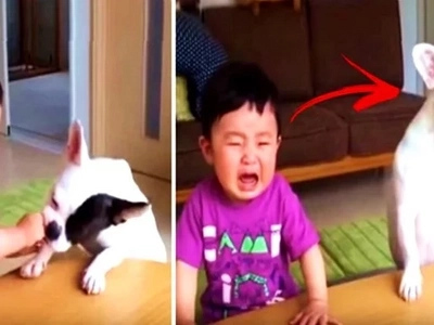 Greedy French bulldog ate this hungry toddler's food. They cried together after the sad incident!