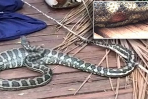 Large bite! Huge python tears skin after DEVOURING large possum (photos, video)