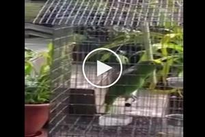 Ang bongga naman nitong ibon na ito! Parrot sings cover of epic song 'Chandelier'