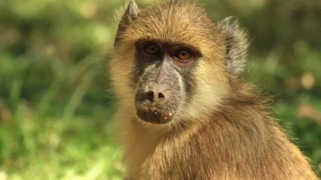 Zambian baboon that caused massive power outage gets hospitalized, evades prosecution