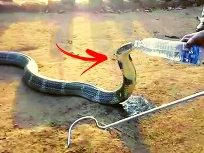 This deady cobra was caught on video drinking from a water bottle held by a brave animal rescue worker! Watch the heart-stopping clip here