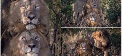 2 'gay' lions spotted in rare all-male intimate encounter at Kenyan game reserve