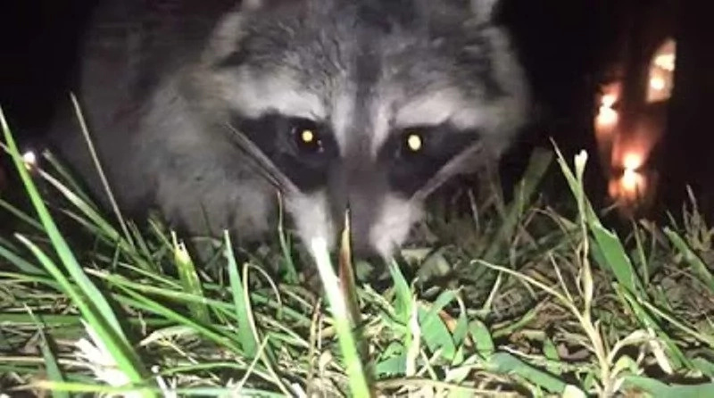 Thieving Raccoon Ran off with Man's IPhone & Filmed EVERYTHING (Video)