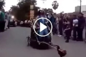 This tiny rooster is so strong, it pulls a human on the road!