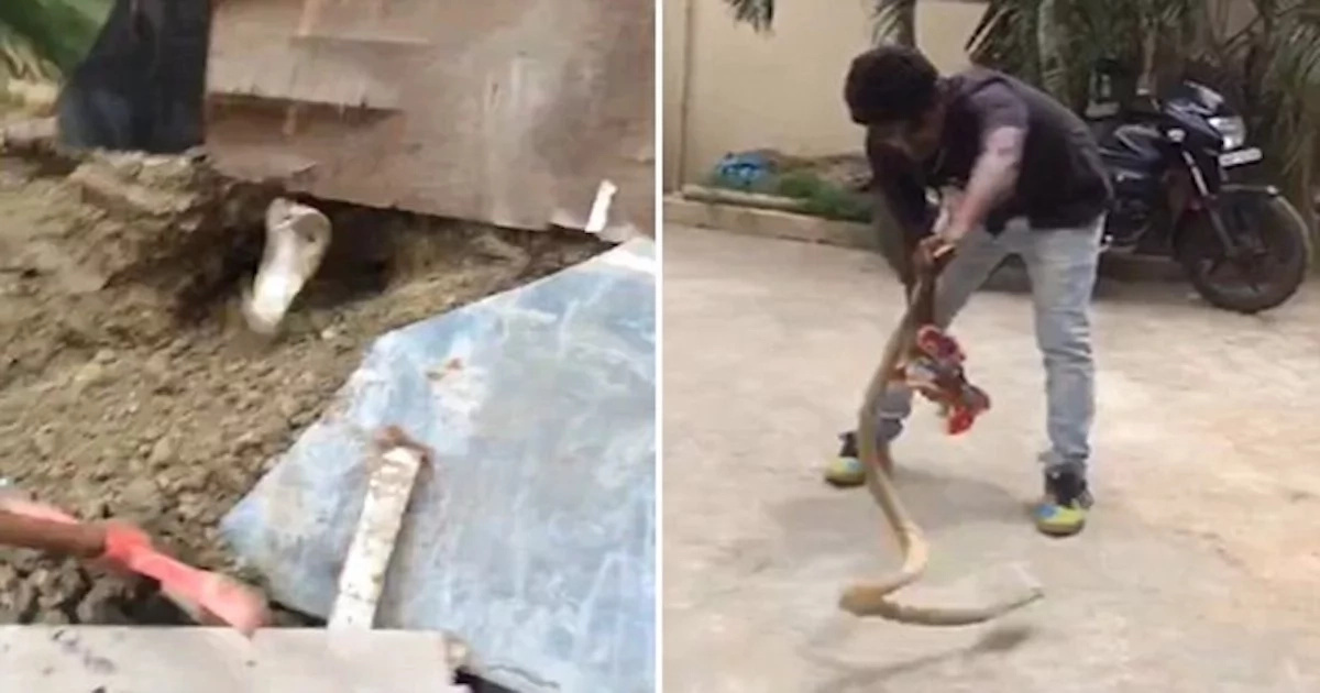 Terrifying moment! See how giant cobra leaps out of hole and attacks brave man (photos, video)