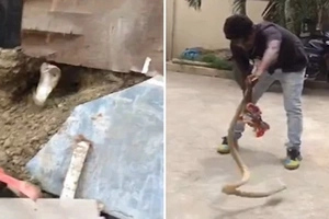 Watch terrifying moment giant cobra LEAPS out of hole and attacks brave man (photos, video)