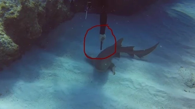 Jaws-dropping! Brave diver saves SHARK with 30cm knife in head after it asks him for help (photos, video)