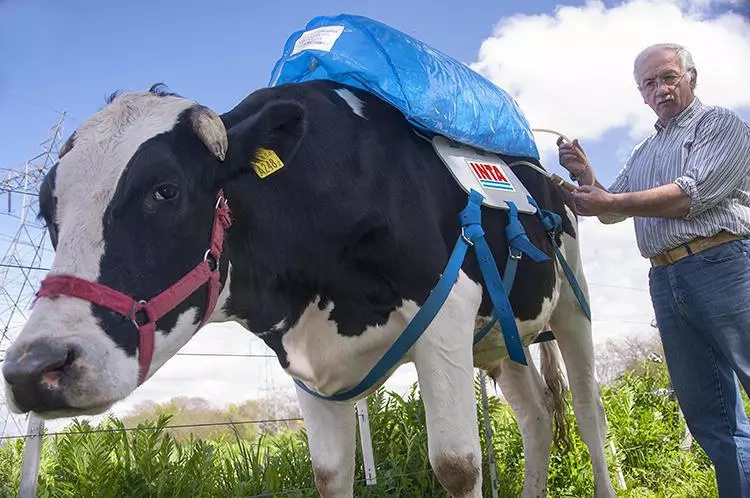 Fart-collecting backpacks for cows will save the planet!