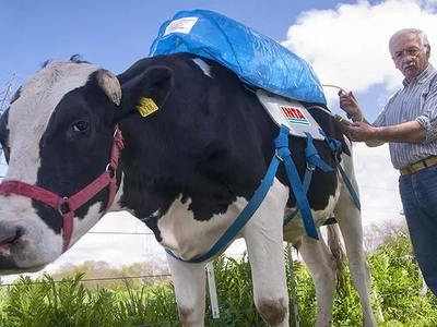 Argentinian cows collect their farts in backpacks! You will be amazed by the reason!