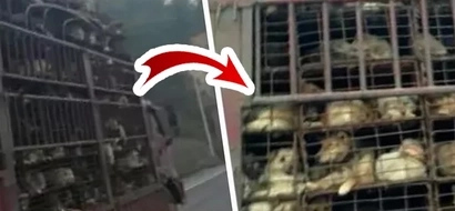 500 Caged Dogs Were Being Transported To A Slaughterhouse. Suddenly, The Truck Was Stopped.
