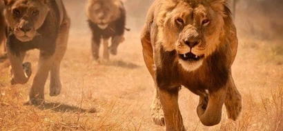 Amazing! Lioness captures a wildebeest, what happens next will amaze you (Video)