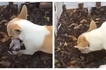 A heartbreaking and unusual video caught by netizen showing a mother dog digging to bury her own pup in grief