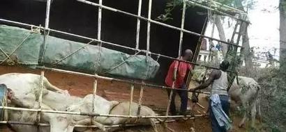 Afisa wa polisi afariki katika AJALI ya ng'ombe Garissa
