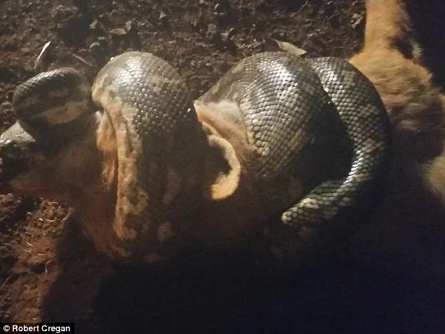 Photo show the dramatic moment a fox was being strangled by a snake