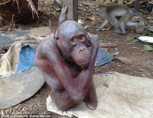 Orangutan chained for four years finally sees second chance at life