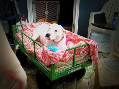 Dog who can't walk gets pushed around in her own special wagon