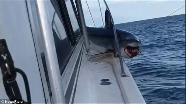 Terrifying moment as huge shark jumps aboard fishing boat and gets stuck on deck