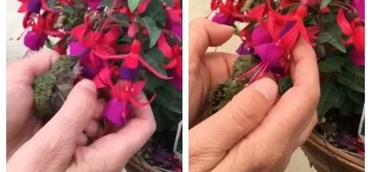 This hummingbird is badly injured. A concerned woman has the kindest heart and helped it eat