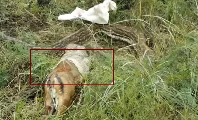 Bit more than he can chew! Python swallows adult deer WHOLE, immediately regrets it (photos, video)