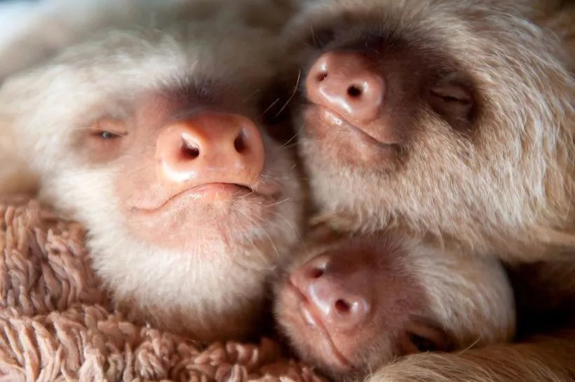 Welcome to the Cutest World — a Place With Lots of Small SLOTHS (Photos)