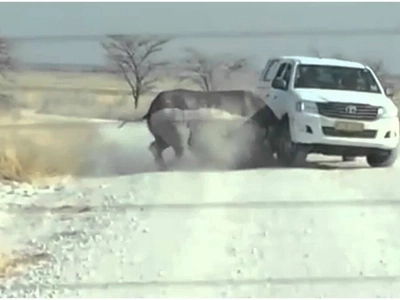 This 2-ton Rhino furiously attacks a car, nothing in the world can stop him