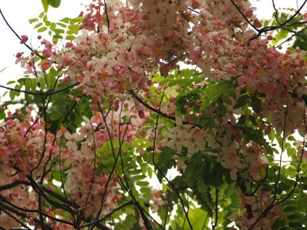 Native cherry blossoms make its way to Puerto Princesa park