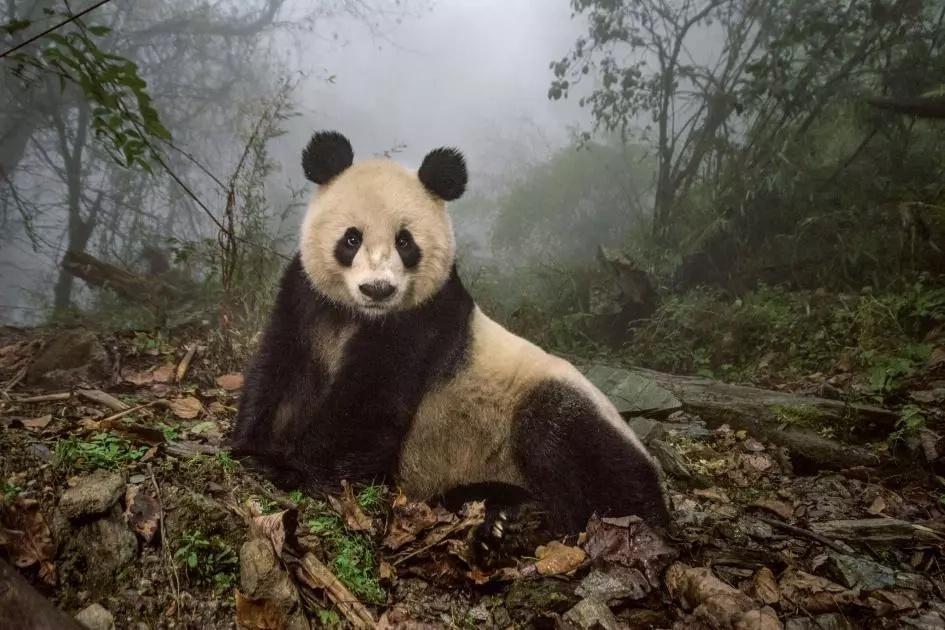 Wild pandas now apparent in northwestern China